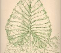 blatt-gruen-r0000ff-39x53-cm