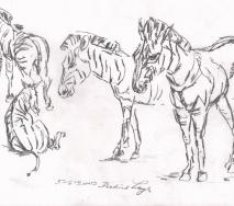 zebras-b0306ff-40x30cm